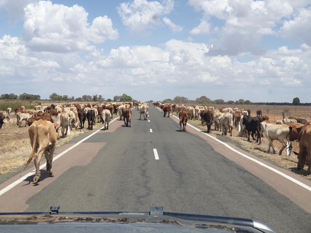 Platoon of Cows walking along the road